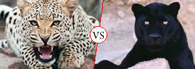 Cheetah vs Panther
