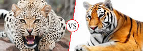 Cheetah vs Tiger