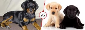 Doberman vs Labrador