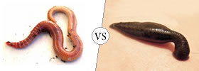 Earthworm vs Leech