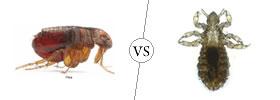 Fleas vs Lice