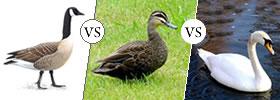 Goose vs Duck vs Swan