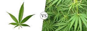 Hemp vs Cannabis