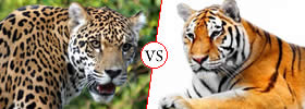Jaguar vs Tiger