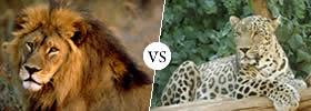 Lion vs Leopard