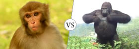 Monkey vs Gorilla