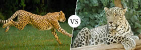 Panthera Onca (Jaguar) vs Panthera Pardua (Leopard)