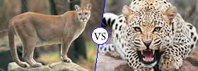 Puma vs Cheetah