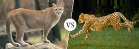 Puma vs Jaguar