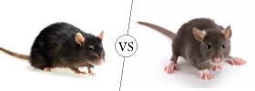 Rat vs Rodent