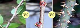 Thorns vs Spines vs Prickles