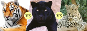 Tiger, Panther vs Leopard