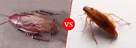 Waterbug vs Cockroach