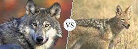 Wolf vs Jackal