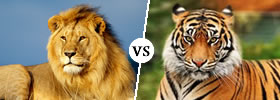 Lion vs Tiger