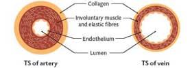 Artery vs Vein
