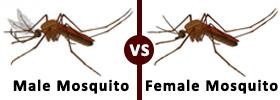 Male Mosquito vs Female Mosquito