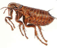 difference between fleas and bedbugs | fleas vs bedbugs