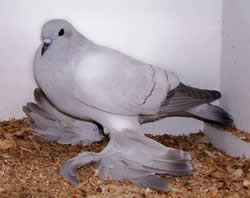 Pigeon dove difference