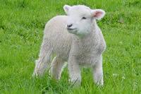 Difference between Lambs and Sheep | Lambs vs Sheep
