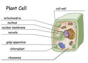 Difference between plasma membrane and cell wall plasma membrane the cell wall on the other hand is not found animal cells or in protozoa cell walls are only present in plant cells as well as in bacteria fungi ccuart Image collections