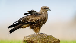 comparison of hawk and falcon essay Birds of prey: i identification chart thirteen dramatic species: bald eagle, red-tailed hawk, sharp-shinned hawk, cooper's hawk, american kestrel, kites and other popular hawks are included in this identification chart.