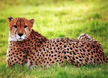 Cheetahs Are The Only Big Cat That Cannot Roar, And Are The Fastest Animal  In The World. Cheetahs Can Go From 0 60 Miles Per Hour In Three Seconds.