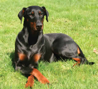 Difference Between Doberman And Rottweiler Doberman Vs Rottweiler
