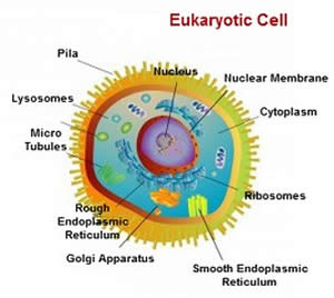 Difference between prokaryotic and eukaryotic cell prokaryotic vs eukaryotes are organisms made up of cells that possess a membrane bound nucleus as well as membrane bound organelles the term eukaryote is derived from the ccuart Images