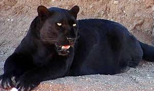 difference between jaguar and panther | jaguar vs panther