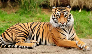 What is the difference between a cat and a tiger?