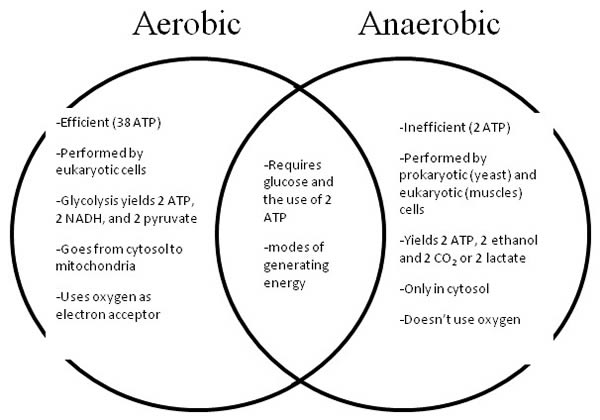 Difference between Aerobic and Anaerobic Respiration ...