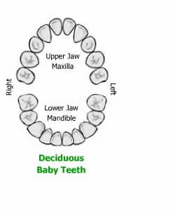 Difference between primary teeth and permanent teeth primary teeth a human being possesses two types of sets of teeth in a lifetime primary and permanent teeth primary teeth are also known as baby milk deciduous or ccuart Image collections