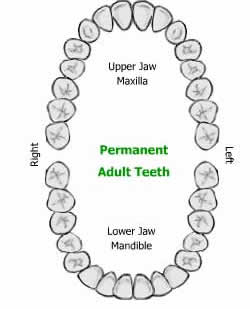 Difference between Primary Teeth and Permanent Teeth | Primary ...