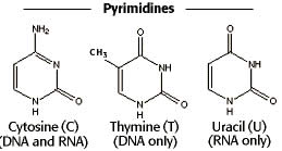 difference between purine and pyrimidine purine vs pyrimidine