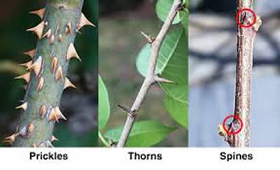 difference between thorns spines and prickles thorns vs spines
