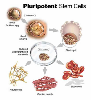 Stem Cell Research Adult vs Embryonic - FFPC