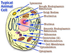 Difference between Animal and Plant Cells   Animal vs Plant Cells