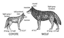 Difference between Coyote and Wolf | Coyote vs Wolf