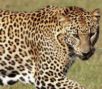 Difference Between Leopard And Cheetah Leopards Vs Cheetahs