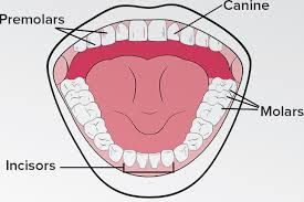 Different types of teeth different types of teeth key difference teeth are hard organs which are situated in the oral cavity there are four main types of teeth which are classified according to their ccuart Choice Image
