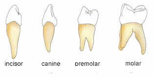 Different types of teeth different types of teeth incisors ccuart Gallery