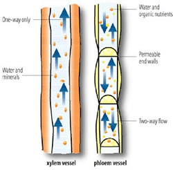 Comparation pholem and xylem