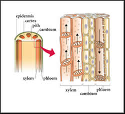 Difference betw... Xylem Cell Diagram