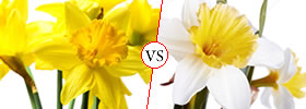 Difference between Daffodil and Narcissus