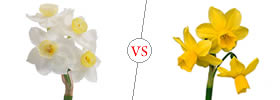 Difference between Jonquil and Daffodil