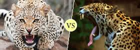 Cheetah and Jaguar