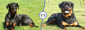Difference between Doberman and Rottweiler