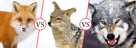 Difference between Fox, Jackal and Wolf