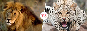 Lion and Cheetah